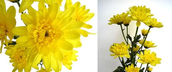 Fiji Yellow