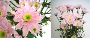 Monalisa Pink