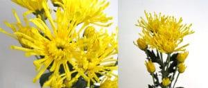 Spider Yellow