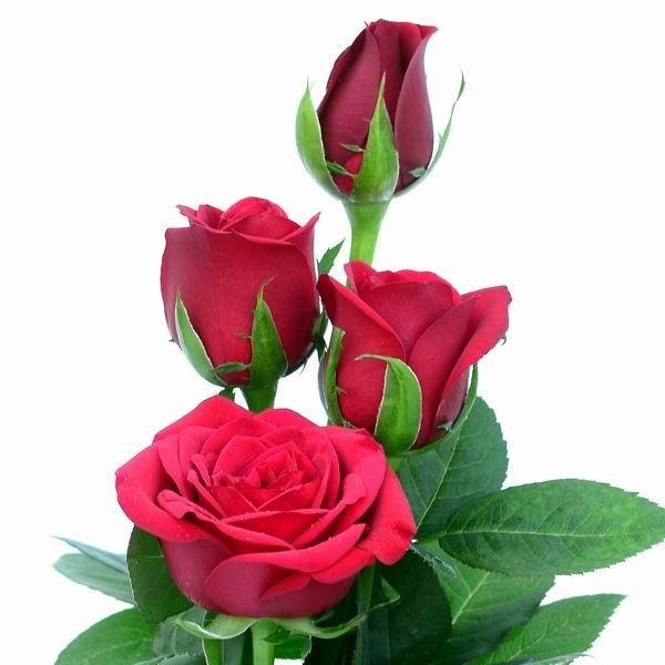 Taj Mahal Rose