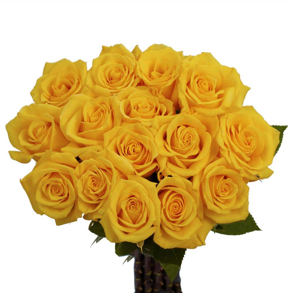 gold strike rose