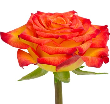 royal circus rose